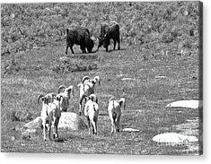 Watching The Bison Brawl Black And White Acrylic Print