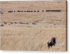 Watching The Herd Acrylic Print