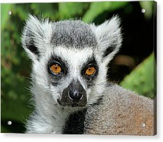 Watching You - Ring-tailed Lemur Acrylic Print by Margaret Saheed