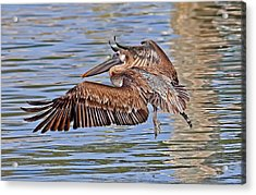 Acrylic Print featuring the photograph Water Ballet - Brown Pelican by HH Photography of Florida