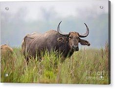 Water Buffalo, India Acrylic Print