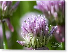 Water Droplets On Chives Flowers Acrylic Print