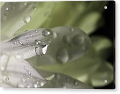 Acrylic Print featuring the photograph Water Drops And White Petals by Angela Murdock