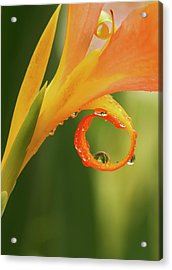 Water Drops On Canna Curl Acrylic Print by Jean Noren