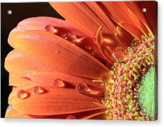Water Drops On Colorful Flower Petals Acrylic Print