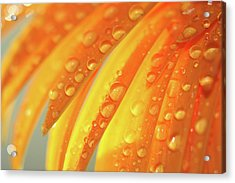 Water Drops On Daisy Petals Acrylic Print by Daphne Sampson
