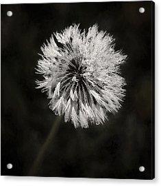 Water Drops On Dandelion Flower Acrylic Print