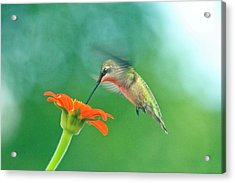 Hummingbird And Zinnia With Sun Glare Acrylic Print