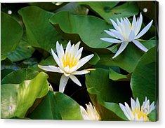 Water Lilies Acrylic Print by Dana Blalock