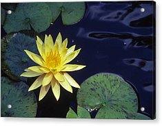 Water Lilly - 1 Acrylic Print by Randy Muir