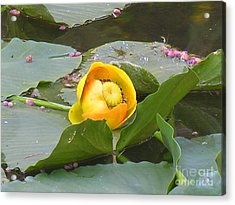 Water Lilly Acrylic Print by Diane Greco-Lesser