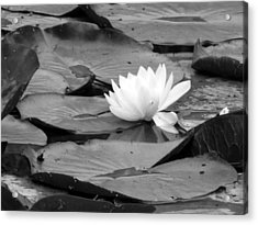 Water Lilly Acrylic Print by Noelle  Kimberley