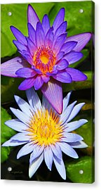 Water Lily Blossoms Acrylic Print