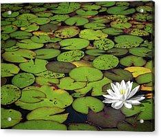Water Lily Acrylic Print by Elisabeth Van Eyken