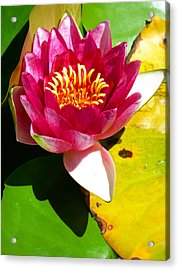 Water Lily Fc 2 Acrylic Print