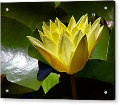 Water Lily Fc  Acrylic Print