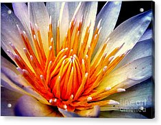 Water Lily Flower Acrylic Print