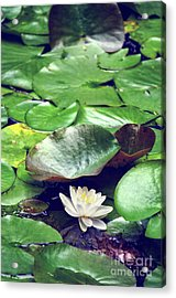 Water Lily II Acrylic Print by HD Connelly