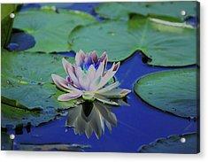Water Lily  Acrylic Print by Karol Livote