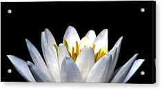 Water Lily Petals Acrylic Print by Angela Davies