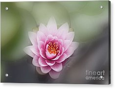 Water Lotus Flower Acrylic Print
