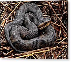 Water Moccasin Acrylic Print