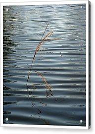 Water Reed Acrylic Print by Dawn Davis