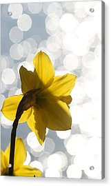 Water Reflected Daffodil Acrylic Print by Karla DeCamp