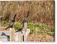Water Turkeys In The Marsh Acrylic Print by Bill Perry