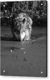 Acrylic Print featuring the photograph Water Wolf I by Shari Jardina