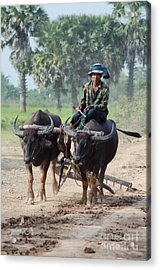 Waterbuffalo Driver Returns With His Animals At Day's End Acrylic Print