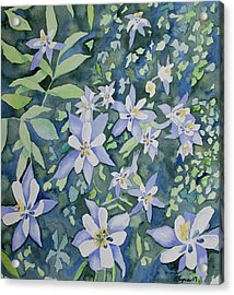 Watercolor - Blue Columbine Wildflowers Acrylic Print