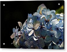 Watercolor Blue Hydrangea Blossoms 1203 W_2 Acrylic Print
