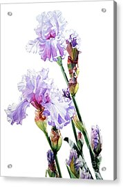 Watercolor Of A Tall Bearded Iris I Call Lilac Iris Wendi Acrylic Print