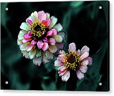 Watercolor Pink Zinnias And Smoke 2227 W_2 Acrylic Print