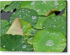 Waterdrops On Lotus Leaves Acrylic Print