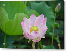 Waterlily Blossom With Seed Pod Acrylic Print by Linda Geiger