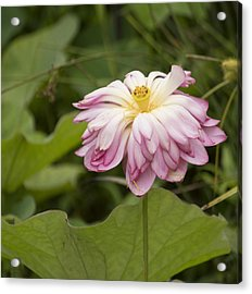 Waterlily Phasing Out Acrylic Print by Linda Geiger