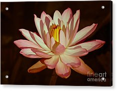Waterlily Warmth Acrylic Print by Liesl Walsh