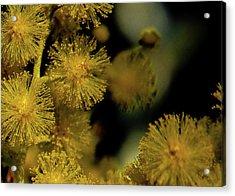 Wattle Flowers Acrylic Print