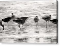 Plundering Plover Series In Black And White 3 Acrylic Print by Angela Rath