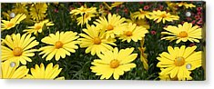 Waves Of Yellow Daisies Acrylic Print