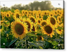 Waving Sunflowers In A Field Acrylic Print