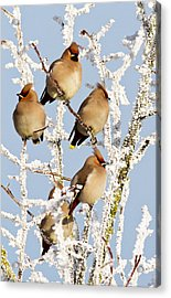 Waxwings And Hoar Frost Acrylic Print
