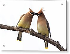 Waxwings In Love Acrylic Print