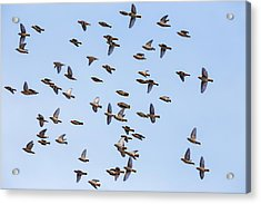 Acrylic Print featuring the photograph Waxwings by Mircea Costina Photography