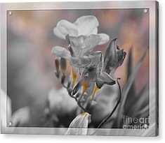 Acrylic Print featuring the photograph We Fade To Grey Freesia's by Lance Sheridan-Peel