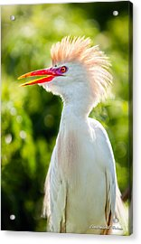 Wearing His Colors Acrylic Print by Christopher Holmes