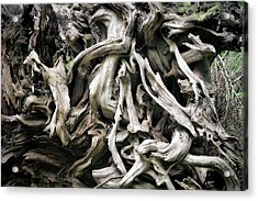 Weathered Roots - Sitka Spruce Tree Hoh Rain Forest Olympic National Park Wa Acrylic Print
