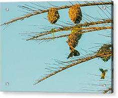 Weaver Birds Acrylic Print